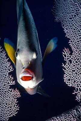 Animals Royalty-Free and Rights-Managed Images - French Angel Fish peeking  by Robert McAlpine