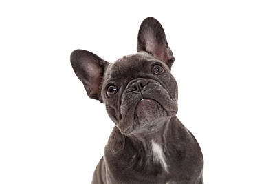 Domestic Animals Photograph - French Bulldog Closeup by Susan Schmitz