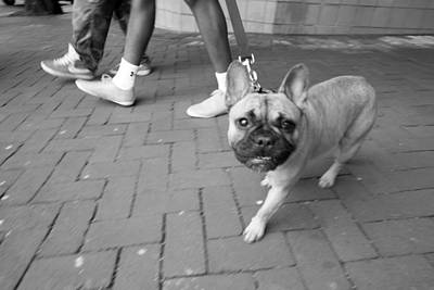 Photograph - French Bulldog by Julie Niemela