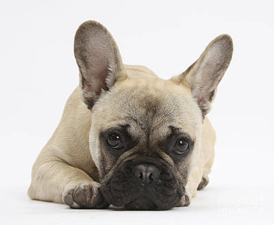 Cute French Bulldog Photograph - French Bulldog by Mark Taylor