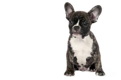 Adorable French Bulldog Puppy Photograph - French Bulldog Puppy. by Borislav Stefanov