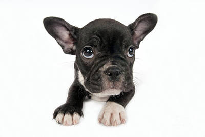 Adorable French Bulldog Puppy Photograph - French Bulldog Puppy In Front Of A White Background  by Borislav Stefanov