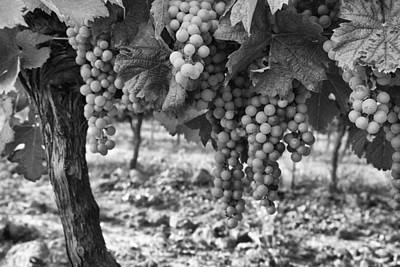 Grape Vines Photograph - French Grapes by Georgia Fowler