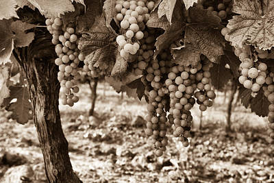 Grape Vines Photograph - French Grapes - Toned by Georgia Fowler