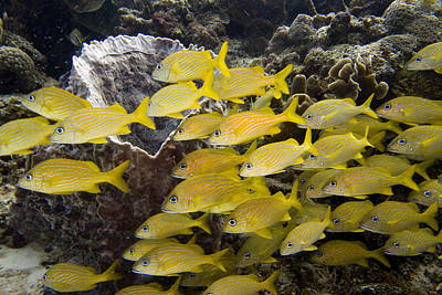 Marine Life Photograph - French Grunts In A School by Jim Murphy