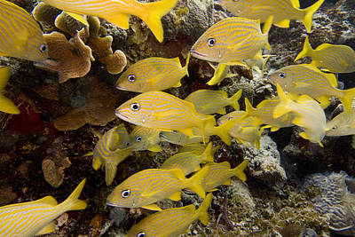 Marine Life Photograph - French Grunts Milling by Jim Murphy