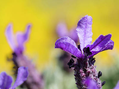 Algarve Wall Art - Photograph - French Lavender At The Costa Vicentina by Martin Zwick