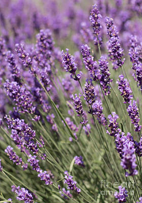 Photograph - French Lavender by Barbara McMahon