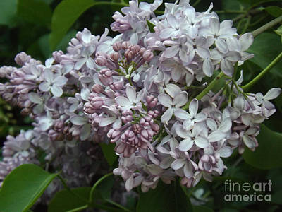 Photograph - French Lilac Blooms by Brenda Brown