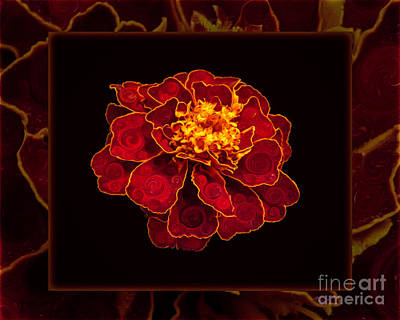 Painting - French Marigold Abstract Flower Art by Omaste Witkowski