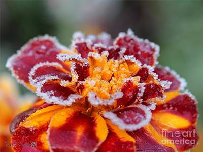 Mccombie Photograph - French Marigold Named Durango Red Outlined With Frost by J McCombie