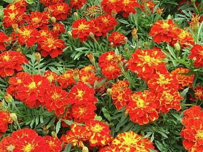 French Marigold 'red Brocade' (tagetes) Art Print by D C Robinson