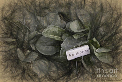 Photograph - French Sorrel by David Arment