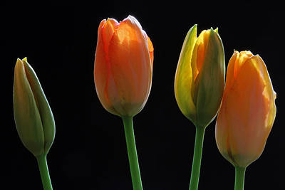 Photograph - French Tulips by Juergen Roth