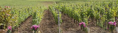 Grape Vine Photograph - French Vines by Georgia Fowler
