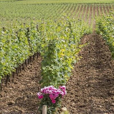 Wine Wall Art - Photograph - French Vineyard by Georgia Fowler
