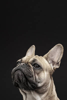 Big Ears Photograph - Frenchie by Samuel Whitton