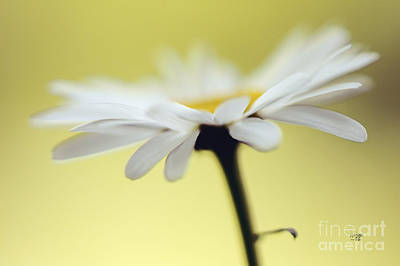 Photograph - Fresh As A Daisy by Lois Bryan