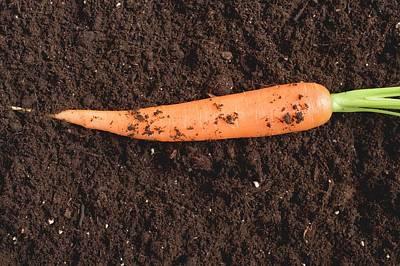 Fresh Carrot On Soil Art Print