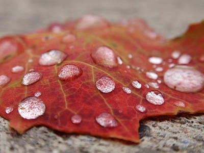 Photograph - Fresh Drops by Christina Rollo