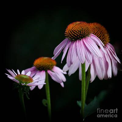 Fresh Echinacea Art Print by Renee Barnes