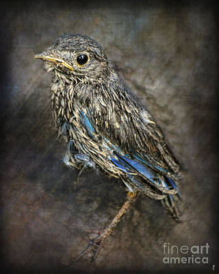 Baby Bird Photograph - Fresh From The Nest - Baby Bluebird by Jai Johnson