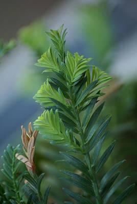Photograph - Fresh Growth Redwood by Ben Upham III