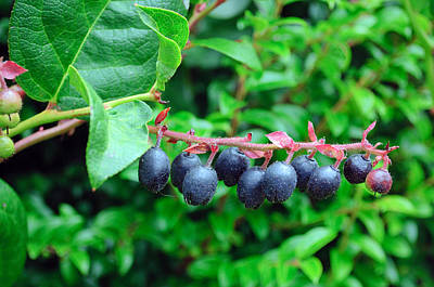 Photograph - Fresh Huckleberries by Tikvah's Hope