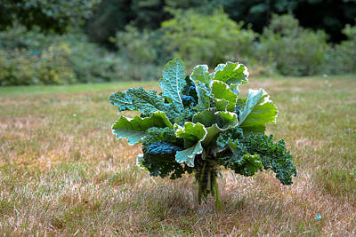 Photograph - Fresh Kale Picked Today by Ronda Broatch