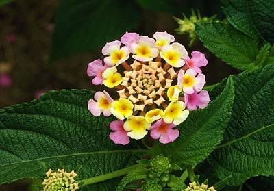 Photograph - Fresh Lantana Flower Against Leaf Background  by Tracey Harrington-Simpson