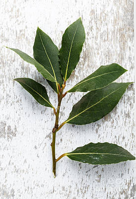 Bay Photograph - Fresh Laurel by Nailia Schwarz