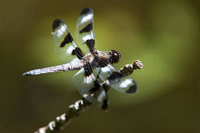 Photograph - Fresh Morning Dragonfly by Christina Rollo