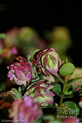 Fresh Oregano Art Print by Susan Herber
