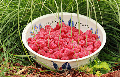 Photograph - Fresh-picked Raspberries by E Faithe Lester