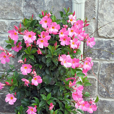 Photograph - Fresh Pink Flowers Blossom Supporting The Tiled Wall Nature Natural Gardens     by Navin Joshi