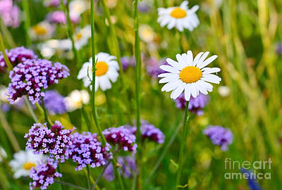 Fresh - Pretty Daisy Bellis Perennis Among A Field With Purple Flowers Art Print