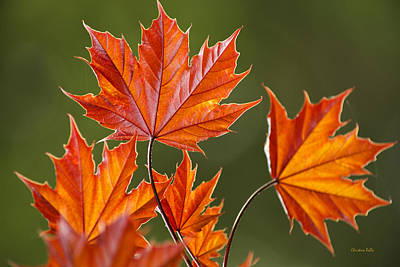 Photograph - Fresh Red Maple Leaves In Spring by Christina Rollo