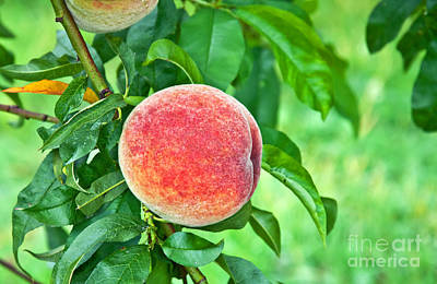 Photograph - Fresh Ripe Peach On Tree Art Prints by Valerie Garner