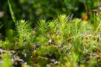 Photograph - Fresh Spruce Seedlings by Kennerth and Birgitta Kullman