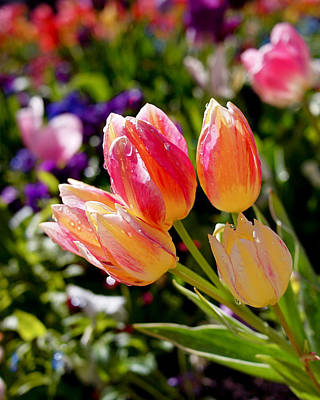 Spring Photograph - Fresh Tulips by Rona Black