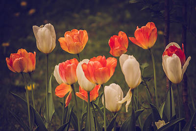 Photograph - Fresh Tulips by Sara Frank