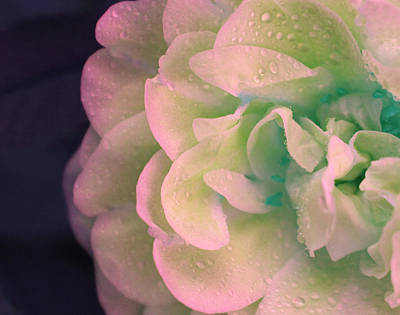 One Of A Kind Photograph - Fresh Water Rose by The Art Of Marilyn Ridoutt-Greene