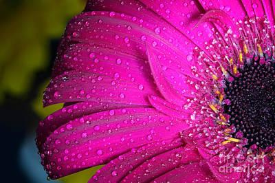 Coy Fish Michael Creese Paintings - Fresh wet gerbera flower close up by Michal Bednarek