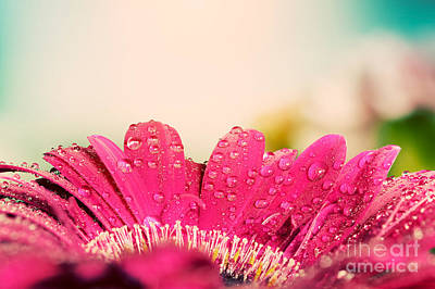 Fragrance Photograph - Fresh Wet Gerbera Flower Vintage by Michal Bednarek