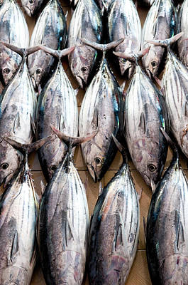 Angle Fishes Photograph - Freshly Caught Skipjack Tuna, Male by Thomas Pickard