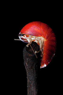 Pill Photograph - Freshly Moulted Pill Cockroach by Melvyn Yeo