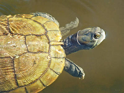 Photograph - Freshwater Turtle 1 by Duane McCullough