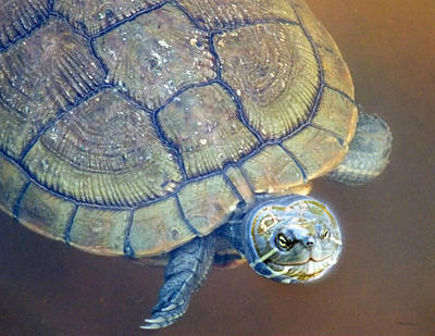 Photograph - Freshwater Turtle 2 by Duane McCullough