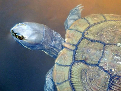 Photograph - Freshwater Turtle 3 by Duane McCullough