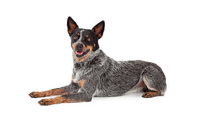 Cattle Dog Photograph - Friendly Australian Cattle Dog Laying by Susan Schmitz